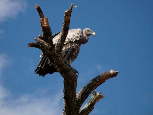 Vulture Africa Animal World