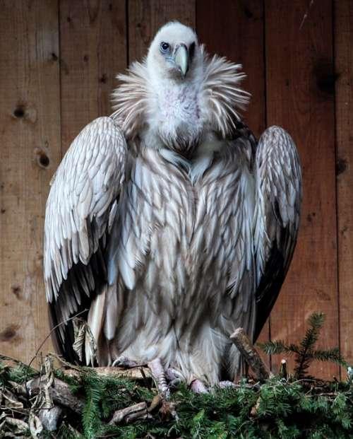 Vulture Bird Bird Of Prey Scavengers