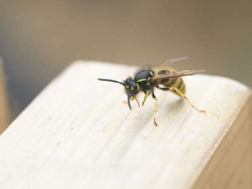 Wasp Insect Sting Wing Flying Dangerous