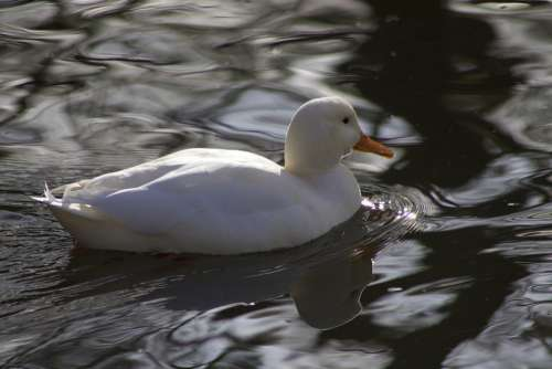 Water Bird Duck Mallard White White Duck Poultry