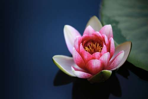 Water Lilies Lotus Pond Blossom Flower Pink
