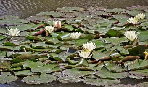 Water Lilies Flowers White Nature Flourishing