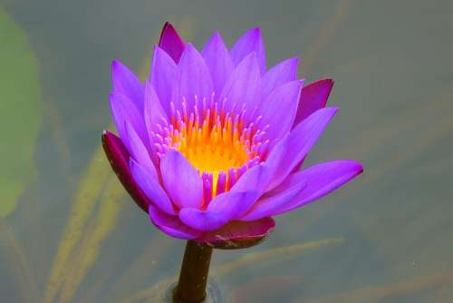 Water Lily Aquatic Plant Nature Blossom Bloom