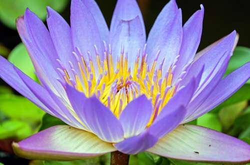 Water Lily Flower Bloom Purple Aquatic Plant