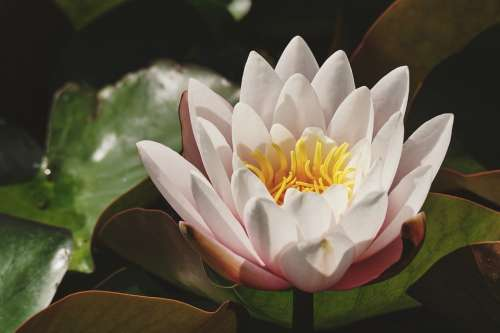 Water Lily White Lily Pond Blossom Bloom Flower