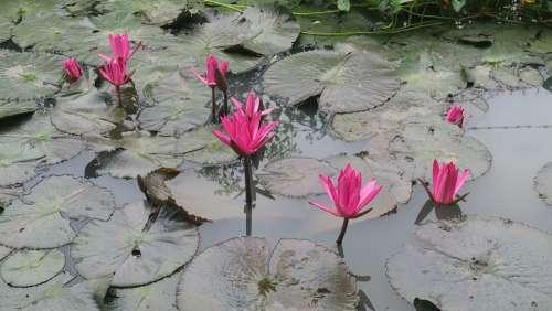 Water Lily Dark Pink Flower Leaf Water Blossom