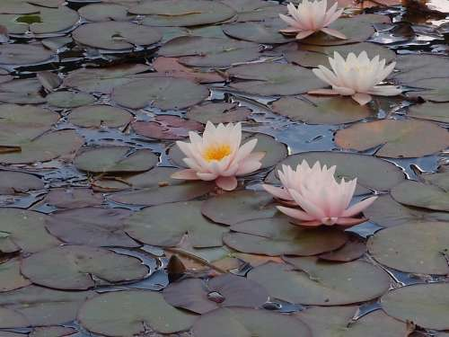 Water Lily Pond Plant Flower Nature Pond Flora