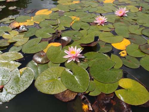 Water Lily Lily Pond Water Nature Plant Flower