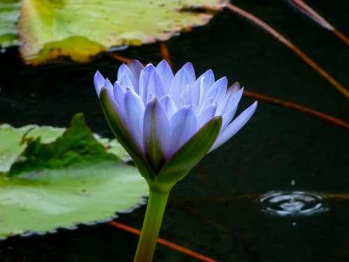 Waterlily Lily Water Flower Blue Aquatic Leaf