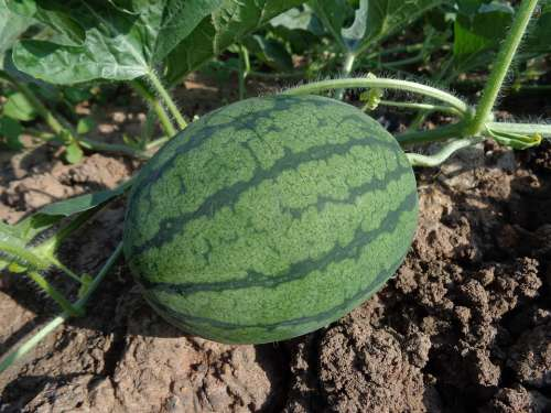 Watermelon Hybrid Watermelon Seed Fruit Green