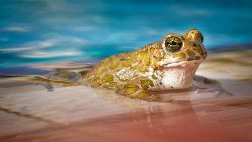 Waters Nature Frog Animal Swim Pool Eyes