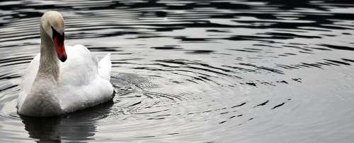 Waters Swan Nature Bird Proud To Be A Swan Pride
