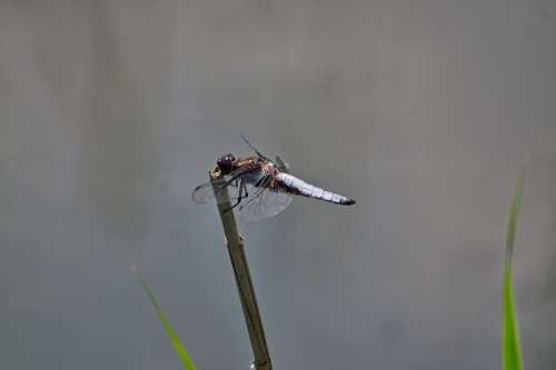 Ważka Nature Insect Macro
