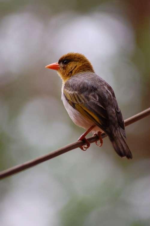 Weaver Bird Perched Avian Fauna Avifauna