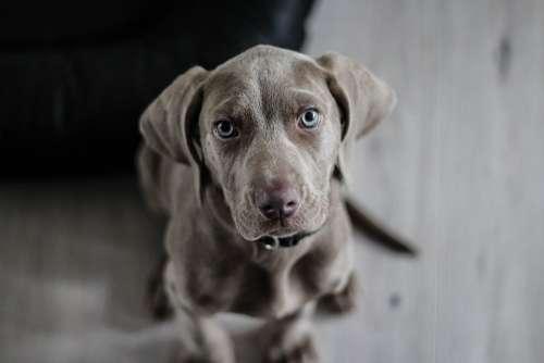 Weimaraner Puppy Dog Snout Animal Portrait