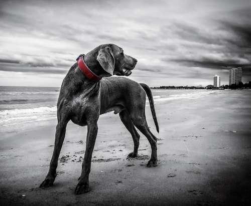 Weimaraner Dog Beach Pet Black