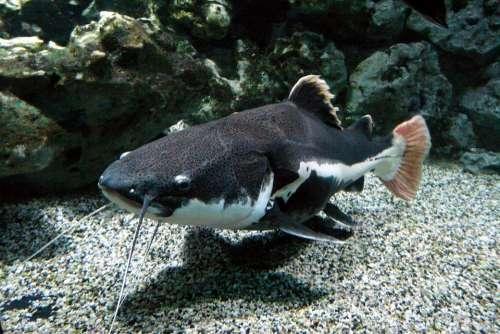 Wels Freshwater Fish Fish