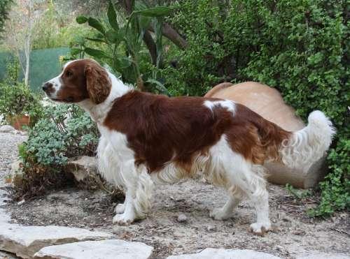Welsh Springer Spaniel Dog Canine Brown White