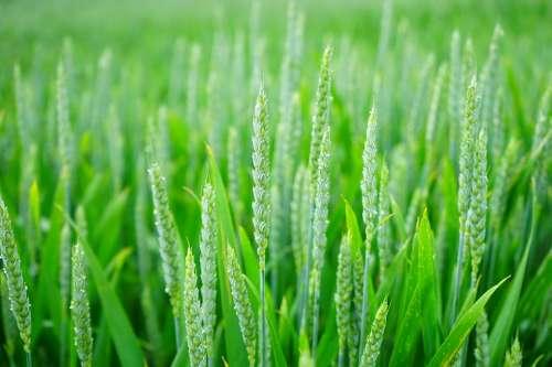 Wheat Wheat Spike Wheat Field Cornfield Spike