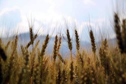Wheat Fields Crops Wheat Field Agriculture Yellow