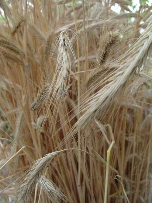 Wheat Field Kolos Cereals