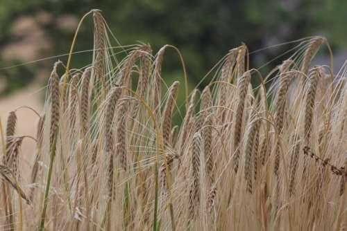 Wheat Salman Field