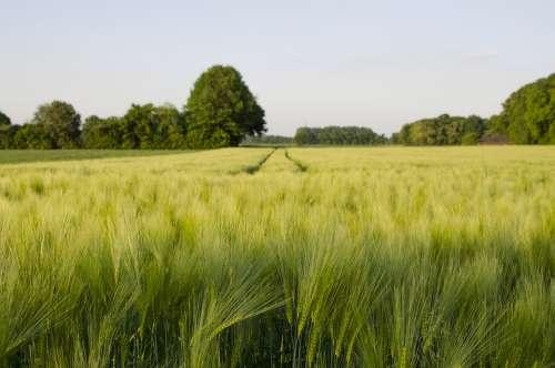 Wheat Field Meadow Green Trees Landscape