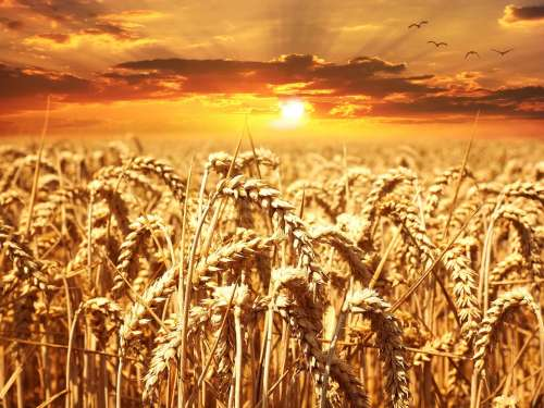 Wheat Field Wheat Cereals Grain Cornfield Sunset