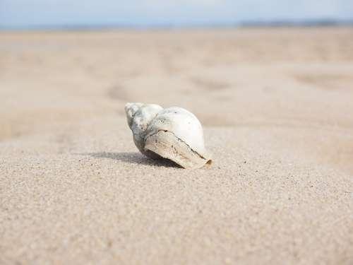 Whelk Snail Animal Buccinum Undatum Horn Snail