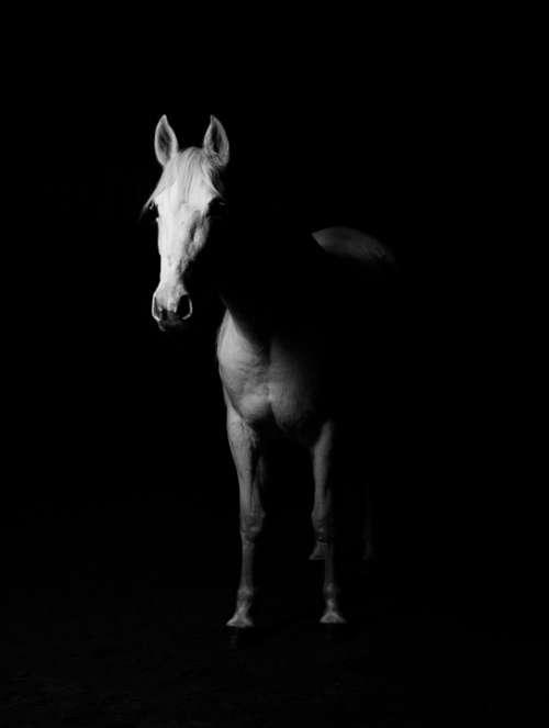 White Horse White Horse Black Background Sto Ride