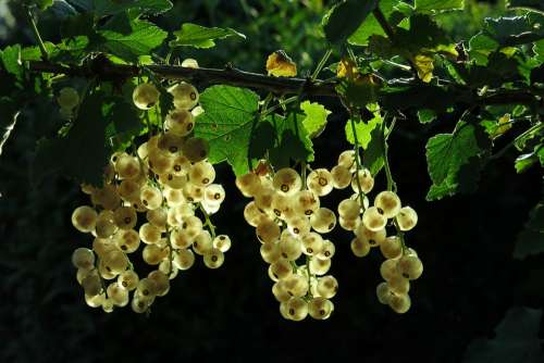 White Currant Fruits Berries Currants