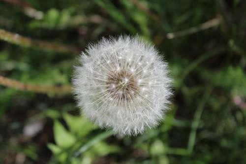 White Dandelion Meadow Summer Flower Seeds Grass
