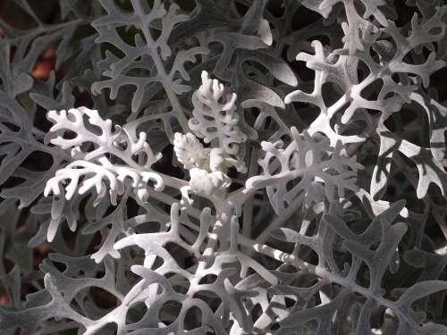 White Fuzzy Groundsel Plant Macro White Nature