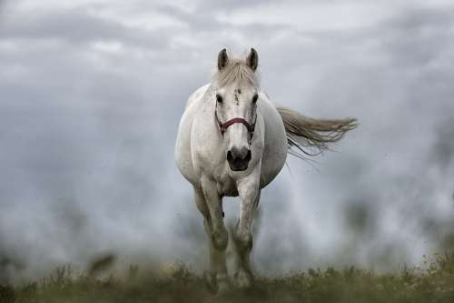 White Horse Horse Nature Animal Mare Riding