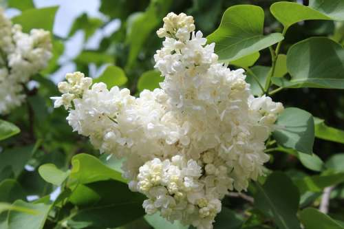 White Lilac Bloom Spring Sunny Day Flowers Garden