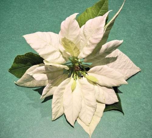 White Poinsettia Christmas Flower Leaves Hawaii