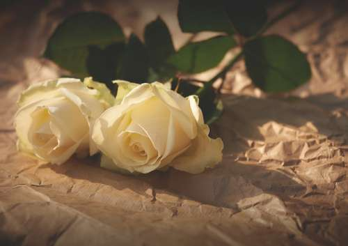 White Roses Flowers Romance Love Valentine