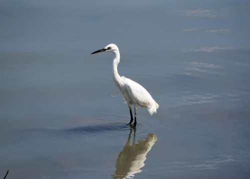 Wild Bird Wildlife Water Reflection Egret Adult