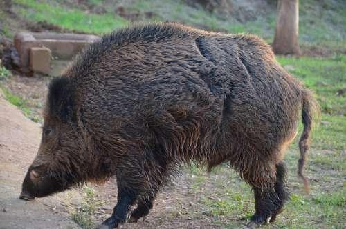 Wild Boar Tusk Dangerous Swine