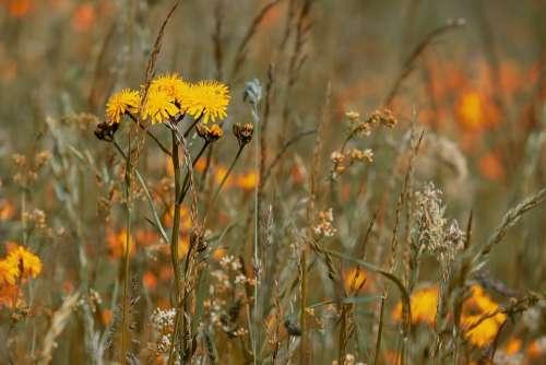 Wild Flower Meadow Flowers Bloom Yellow