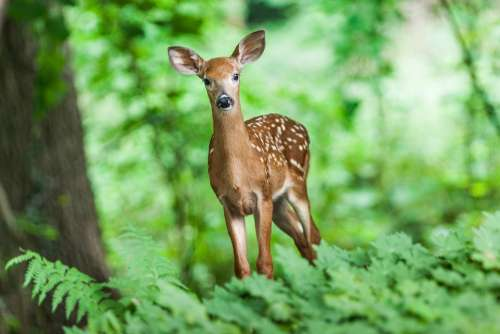 Wildlife Deer Mammal Young Animal Wild Forest