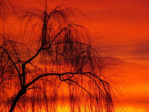 Willow Sunset Sun Sky Cloud Tree Red Fire