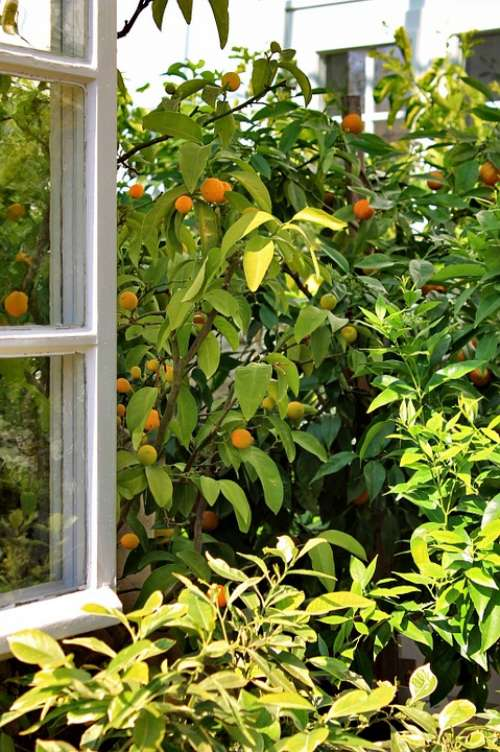Window Open Tree Oranges Emerge View Green