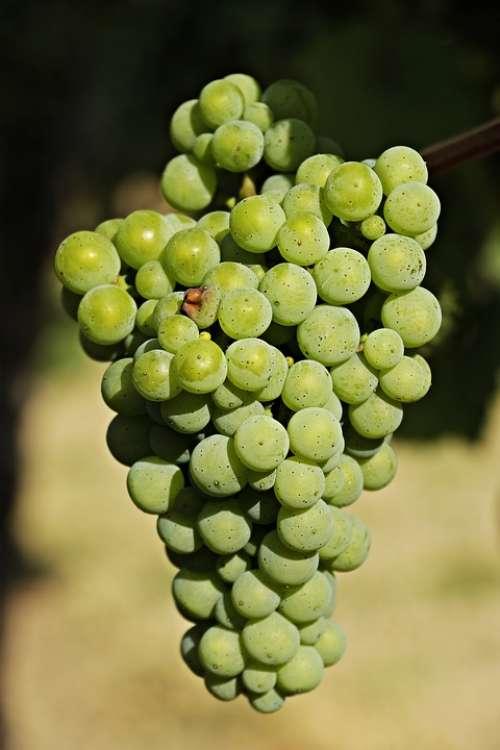 Wine Grapes Grapevine Vine Fruit Winegrowing
