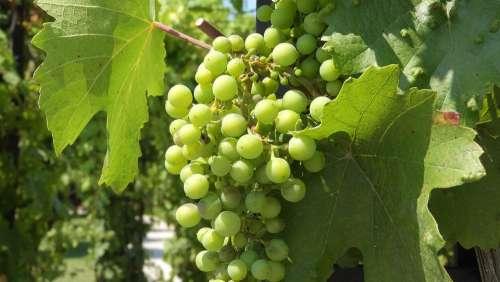 Wine Grapevine Viticulture The Grapes Foliage