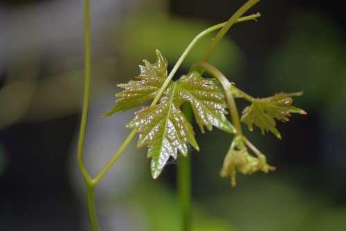 Wine Leaves Leaf Plant Climber Plant Vine