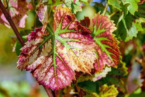 Wine Leaf Leaf Color Grapevine Plant Winegrowing