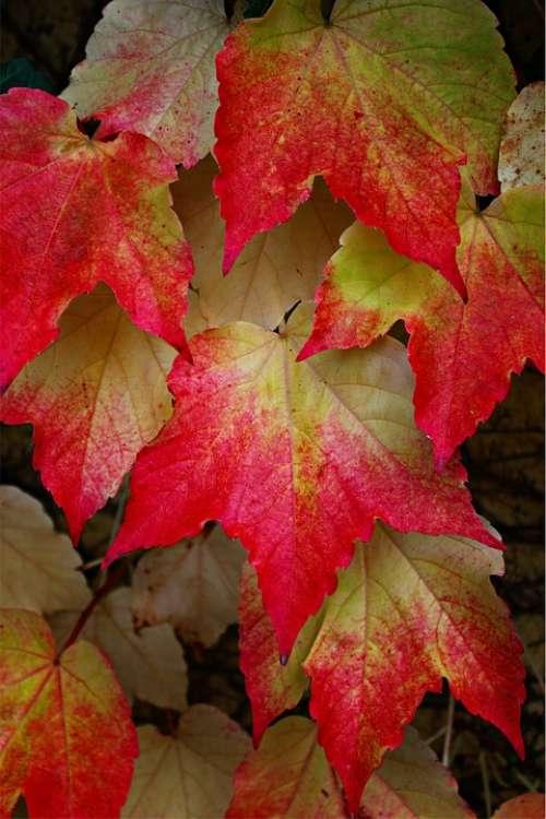 Wine Partner Vine Leaves Fall Leaves Colorful