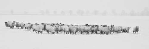 Winter Sheep Herd Snow Animals Cold Season