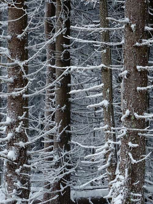 Winter Forest Trees Nature Snow Landscape Cold